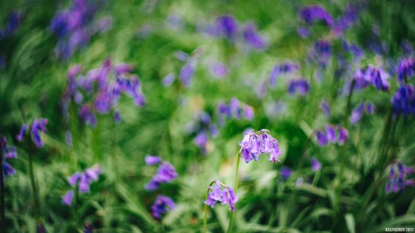 – Bluebell trail –