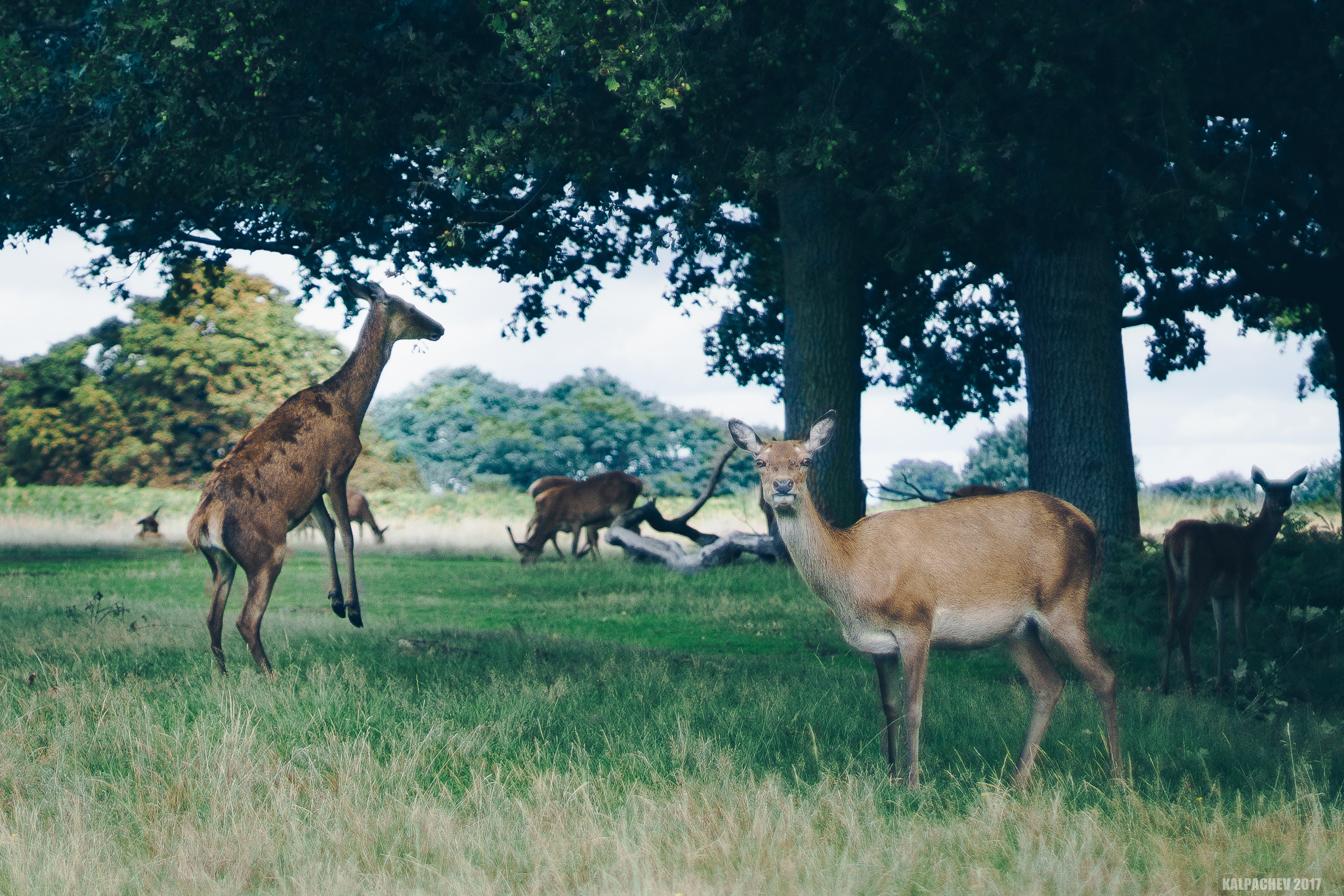 Wildlife at Richmond park with Canon EF 50mm F/1.4